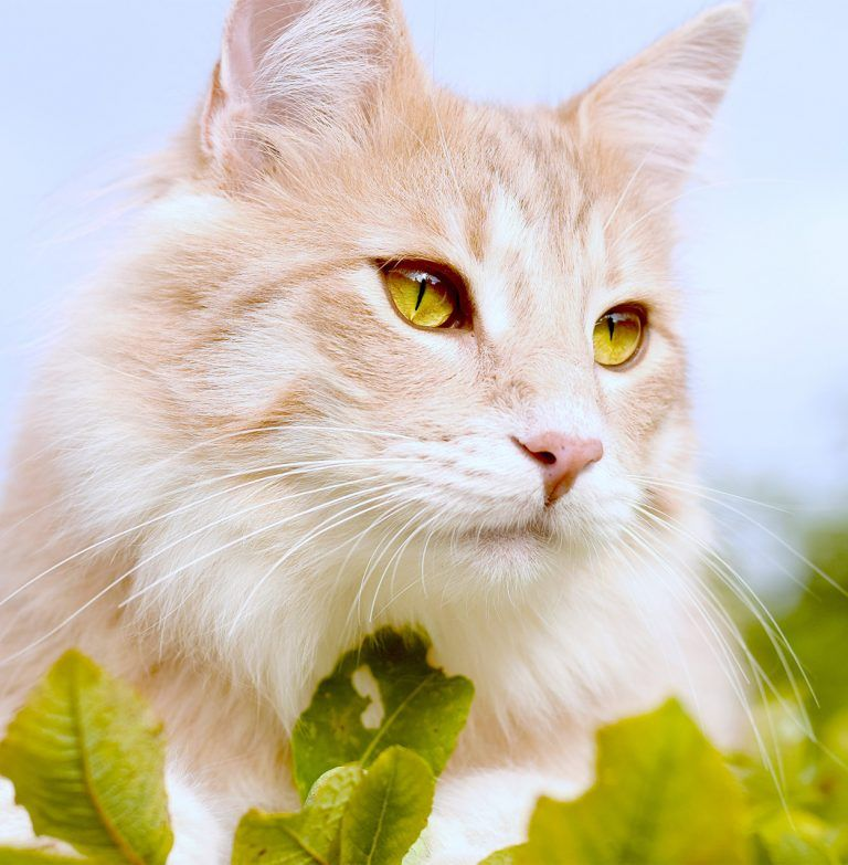 Norwegian Forest Cat Your Complete Guide To Finding And Owning One Norwegian Forest Cat Norwegian Forest Cat Breeders Forest Cat