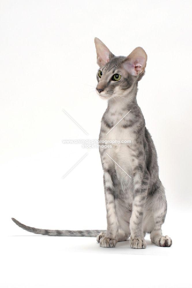 Blue Classic Cat