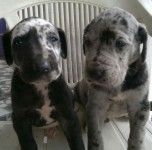Great Dane Puppies For Sale Chennai Pets Adoption Great Dane