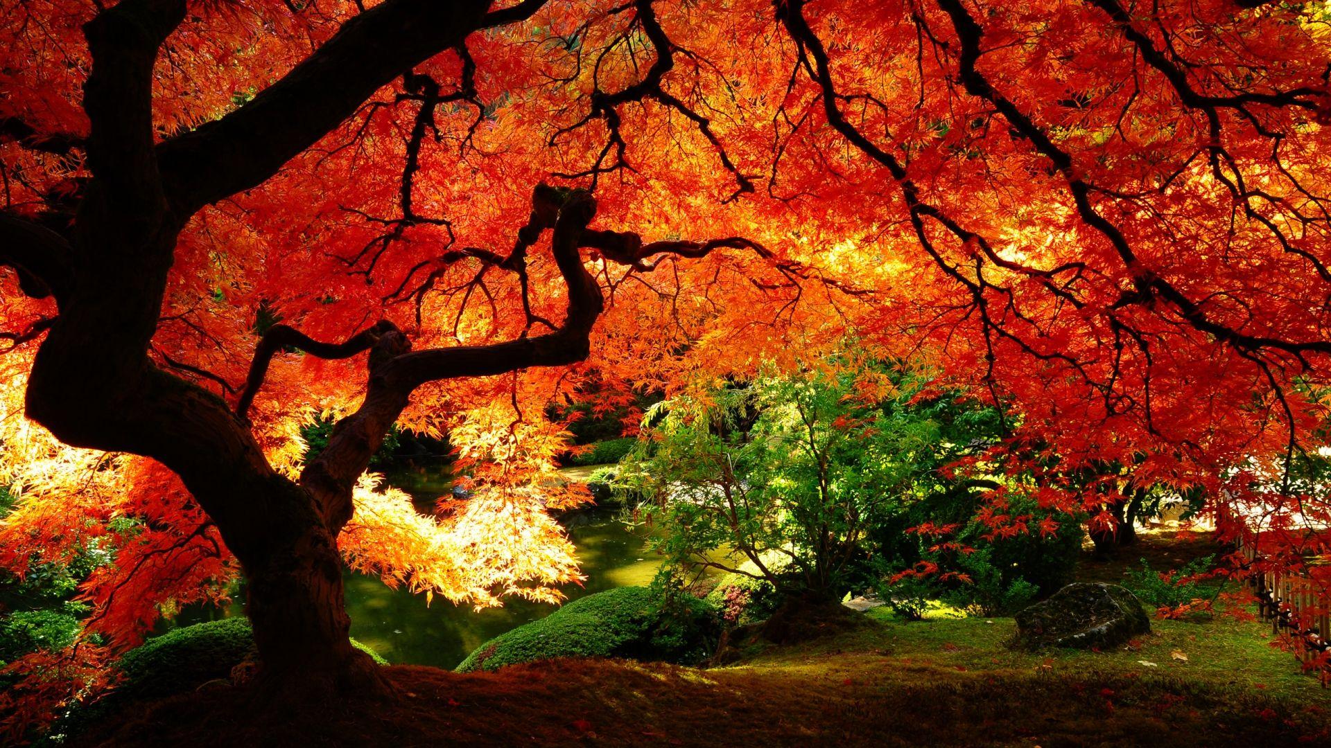 Japanese maple in autumn. GR Loftus. Lugares del Mundo