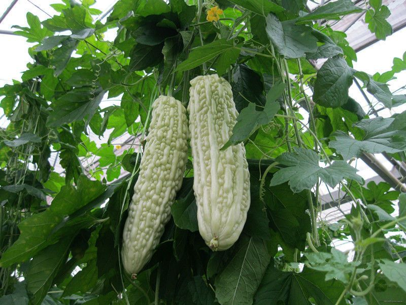 New Arrival Organic 10 seeds Okra Seeds Non GMO Good For Kidney Garden Special