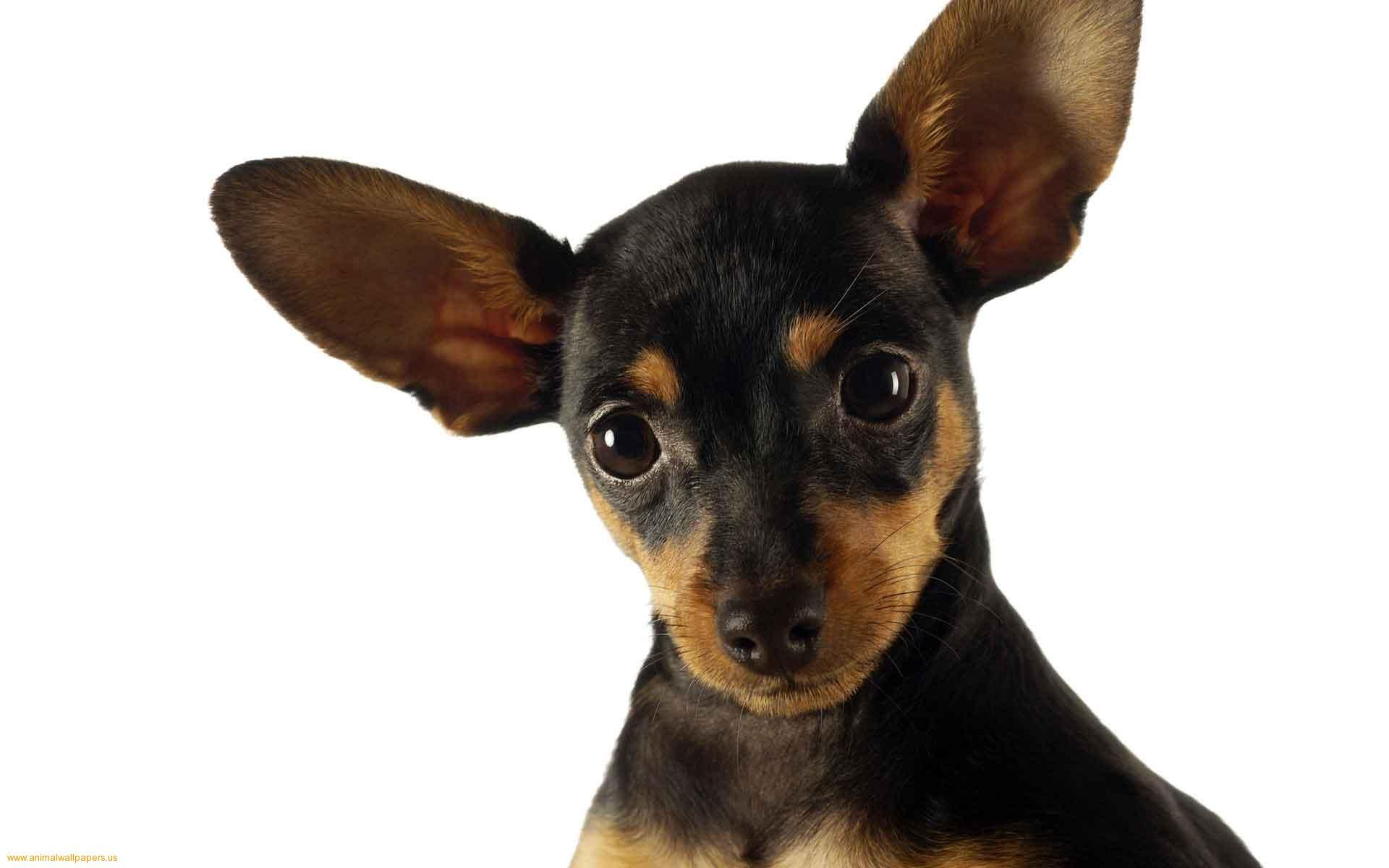 1f95708873598a7eea683c02dd078b67 awesome black chihuahua dog high definition nature wallpapers 44764