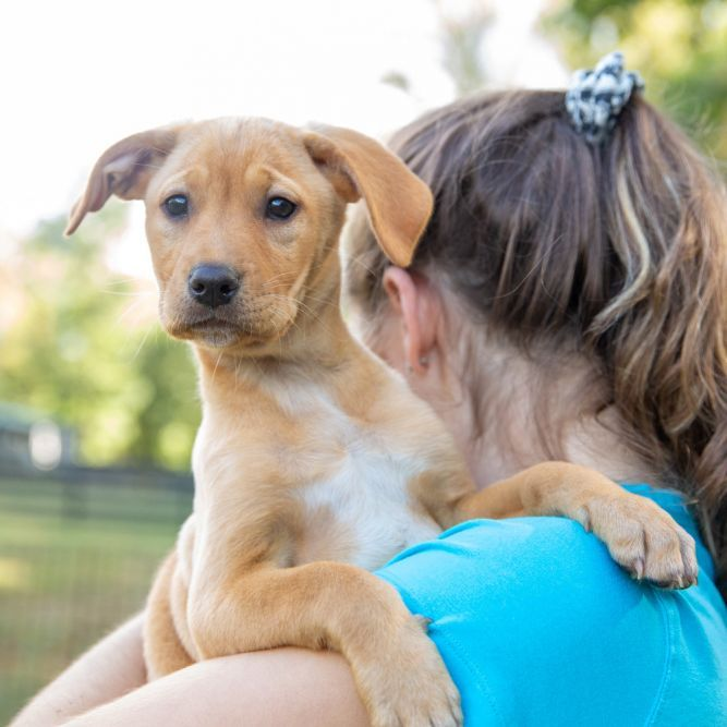 Adopt Gemma on Golden retriever mix puppies, Dog