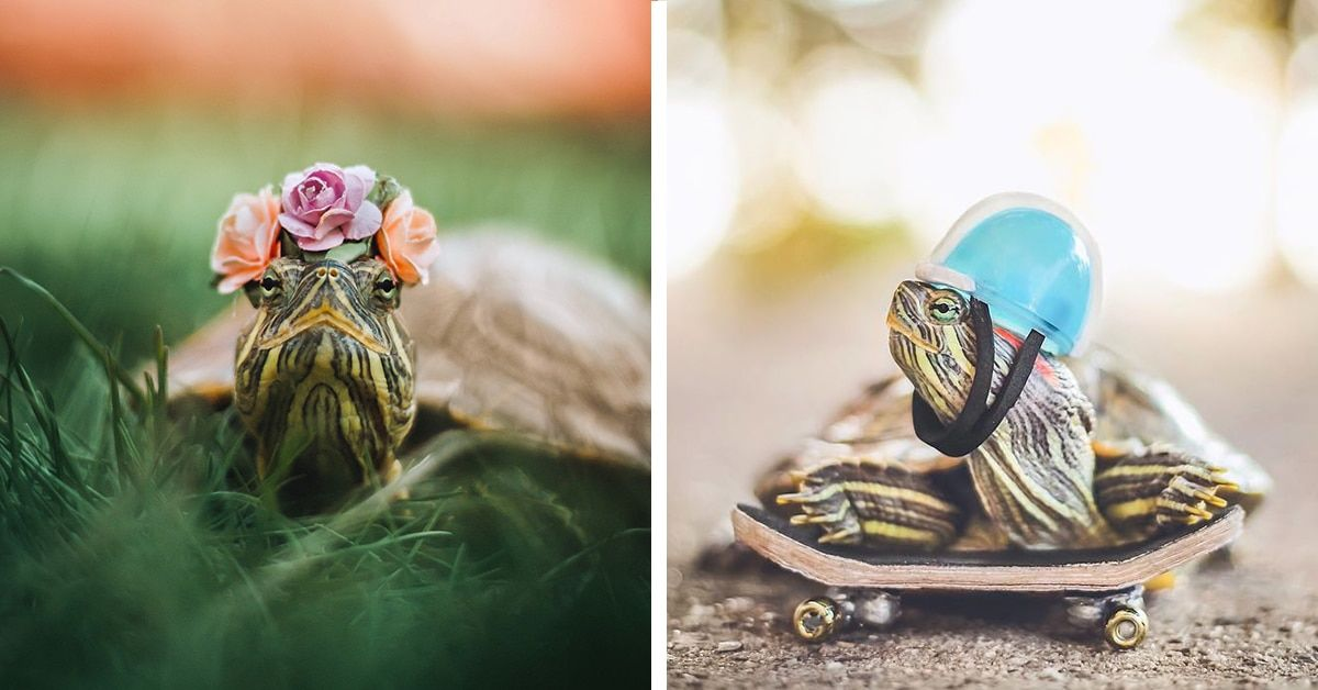 Have You Ever Wanted A Pet Turtle Meet Squishy And Rosy A Pair Of Red Eared Slider Turtles Although They Re Not Fluffy T With Images Red Eared Slider Pet Turtle Turtle