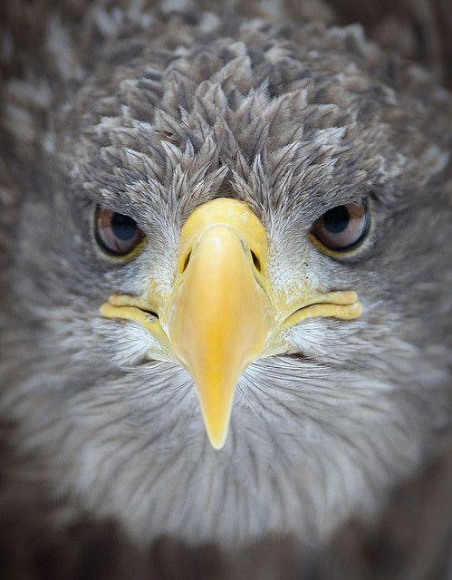 Portrait of a White-tailed eagle (Haliaeetus albicilla) shot at a tiny zoo on Margitsziget, Budapest.