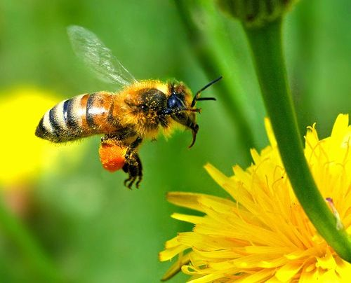Honey Bee Carrying Out Pollination Jpg 500 404 蜂 虫 ハチ