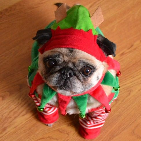 Merry Christmas Pug Elf Ottawa On Cute Pugs Baby Pugs Pugs