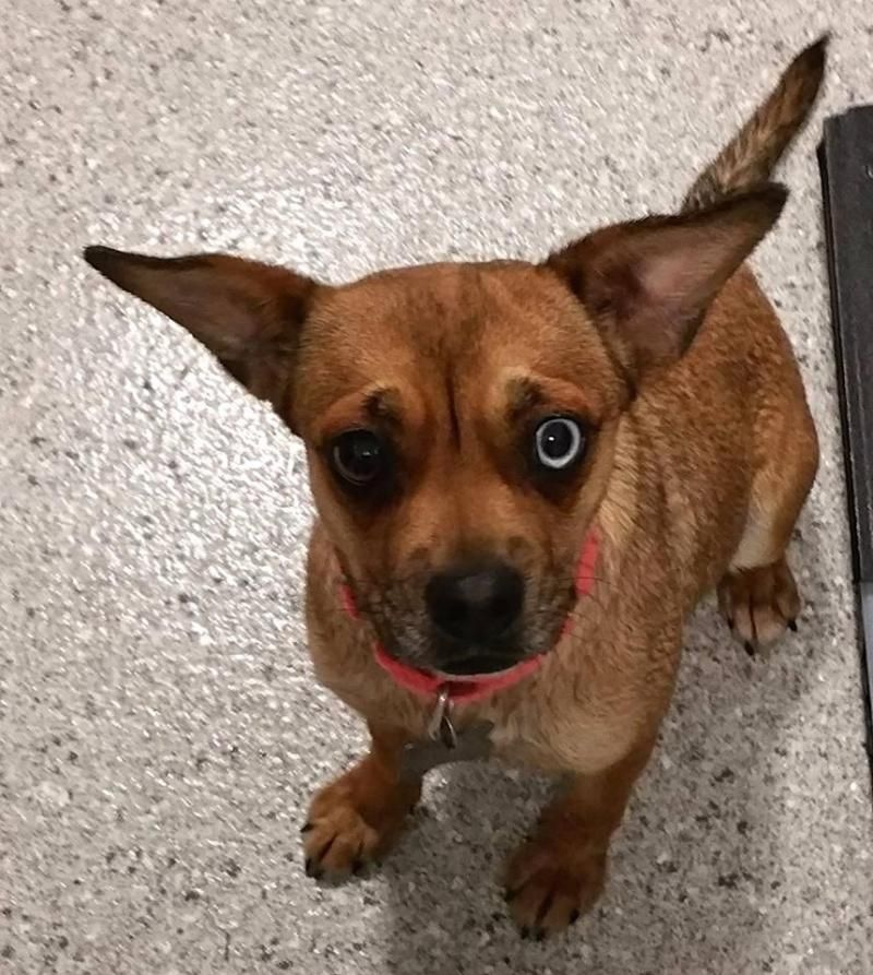 Adopt Clementine On Cute Dogs Dogs Pugs