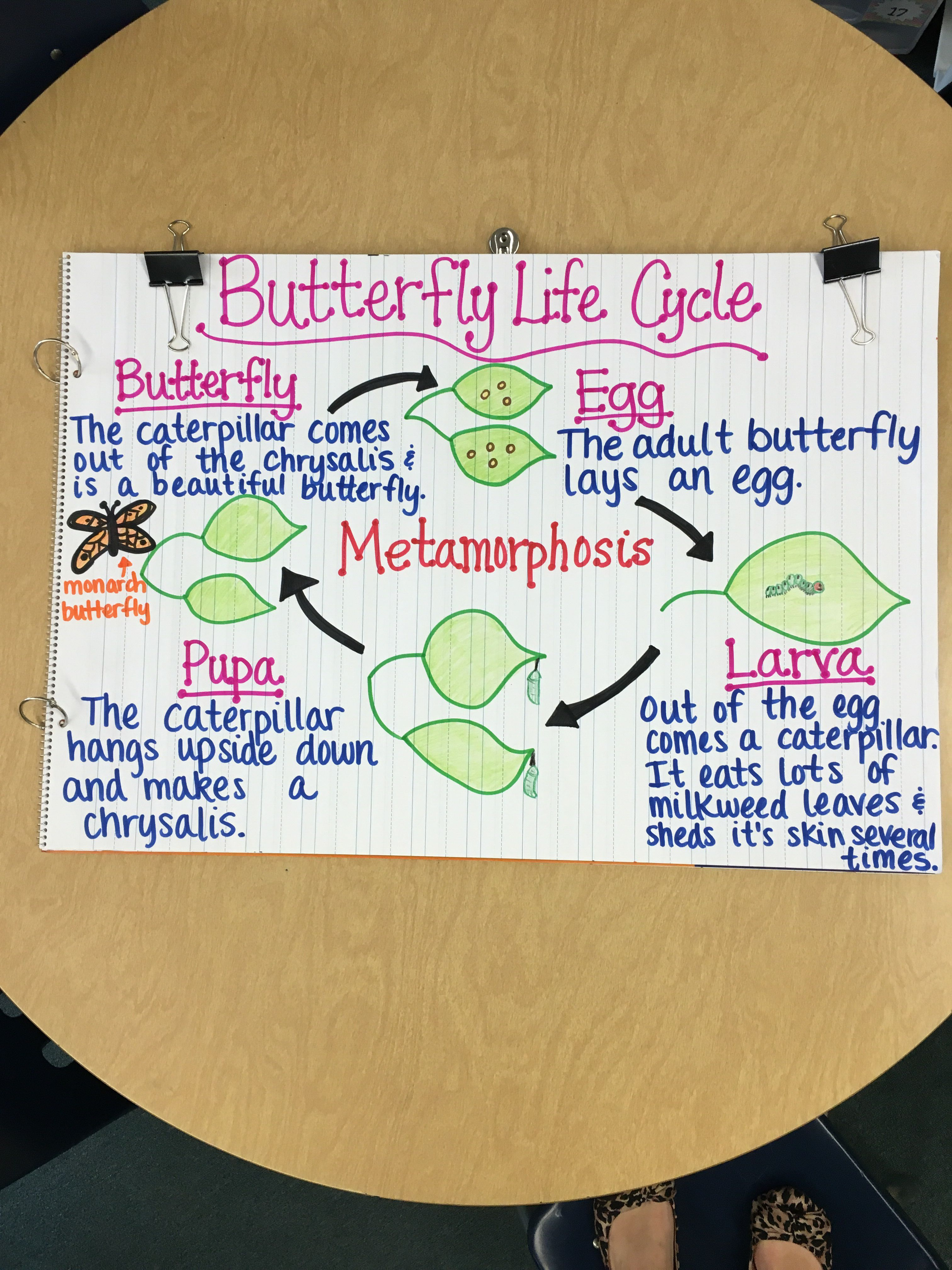 Butterfly Life Cycle Anchor Chart