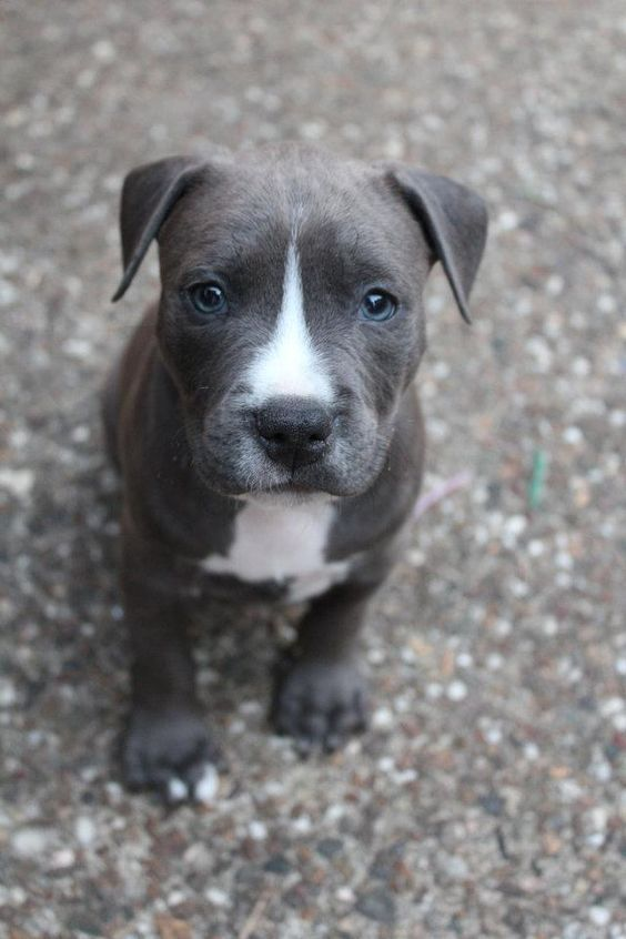 Cute grey and white pitbull puppy. | Cute Pets | Pinterest | Grey ...