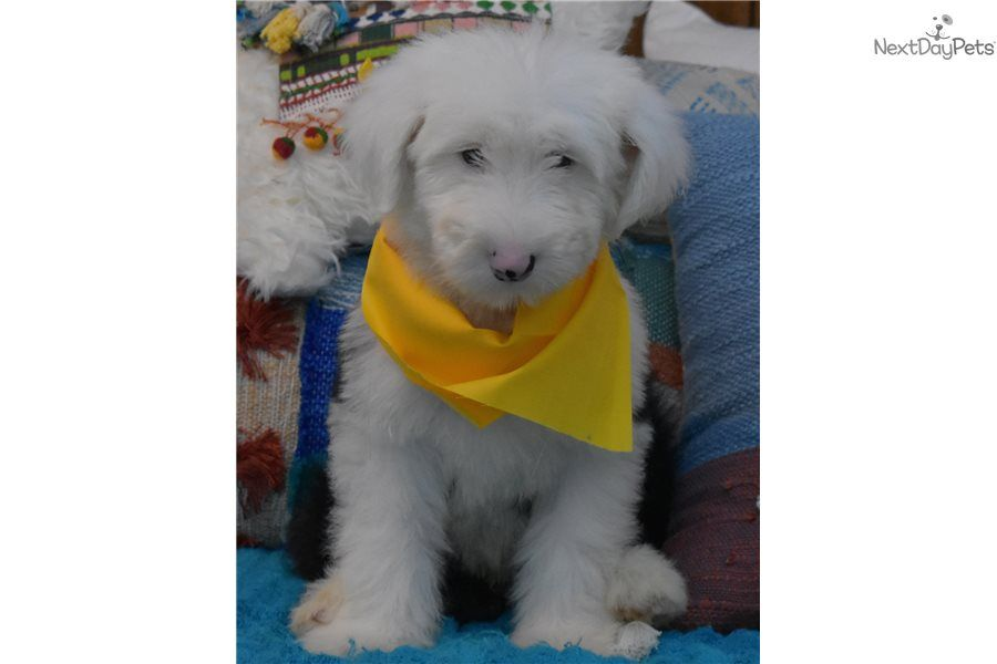 Harvey Sheepadoodle Puppy For Sale Near Orange County