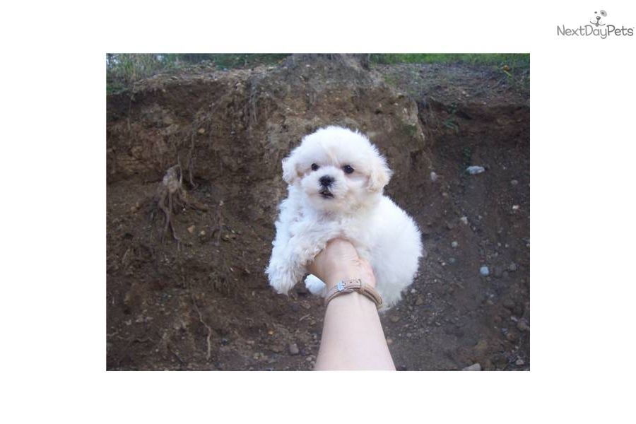 Meet Adorable Nonshed Cutie A Cute Bichon Frise Puppy For Sale For