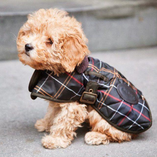 barbour dog wear
