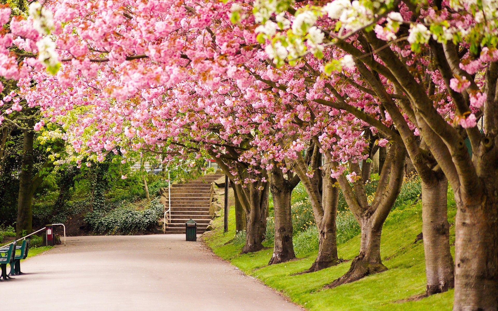 Sheffield England Park Tree Cherry Blossom Road Alley In Spring Nature Desktop Wallpaper Nature Desktop Beautiful Nature Wallpaper