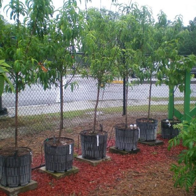 15 gallon peach trees (tropic snow) ready to be planted