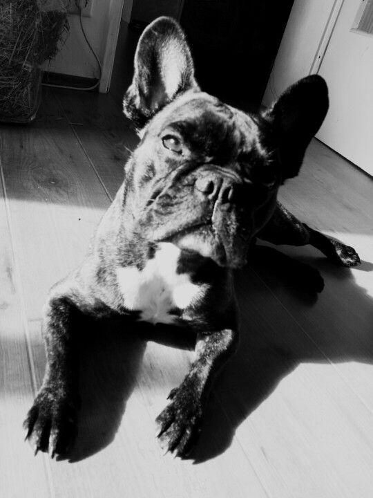 I My Frenchbulldog