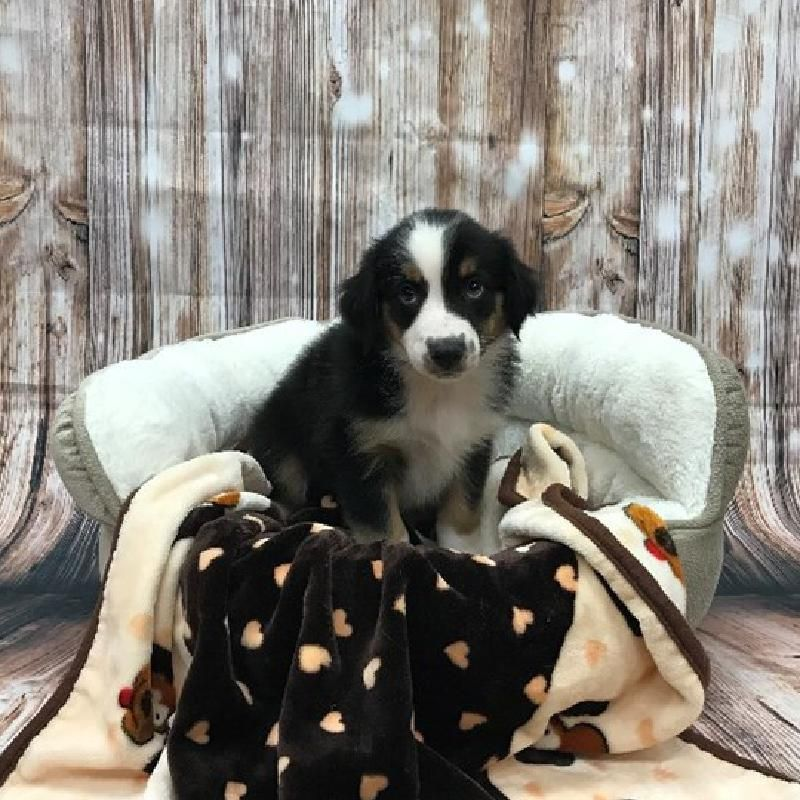 Puppies For Sale Monroeville Pa Visit Petland Monroeville Today Puppies For Sale Puppies Dogs