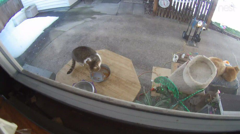 This Neighborhood Cat Usually Visits The Front Porch But Today He Apparently Was So Hungry That He Risked A Cat F Feral Cats Cat Drinking Ginger Cats