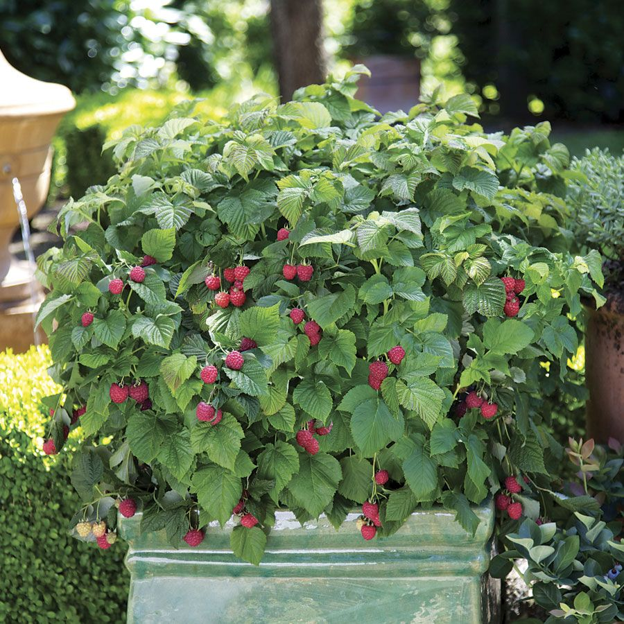 Red raspberry organic fruit tree seeds home garden fruit plant can