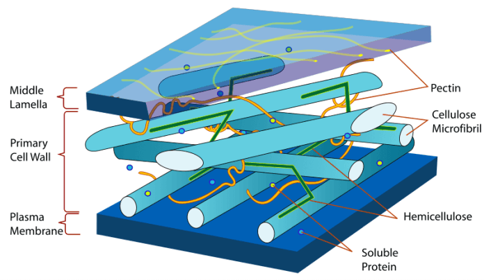 cell wall composition is important for the proper on cell wall function id=61201