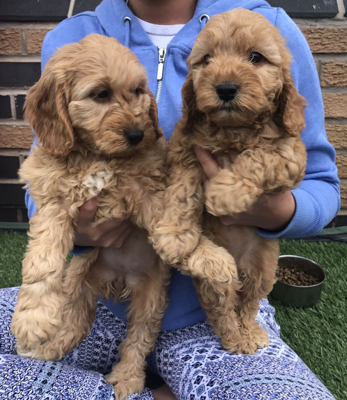 F1 Cockapoo Puppies Cockapoo Puppies Puppies Cockapoo