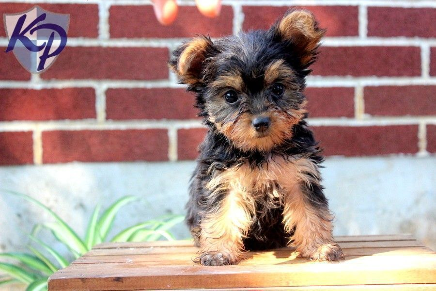 Bella Yorkshire Terrier Puppies for Sale in PA