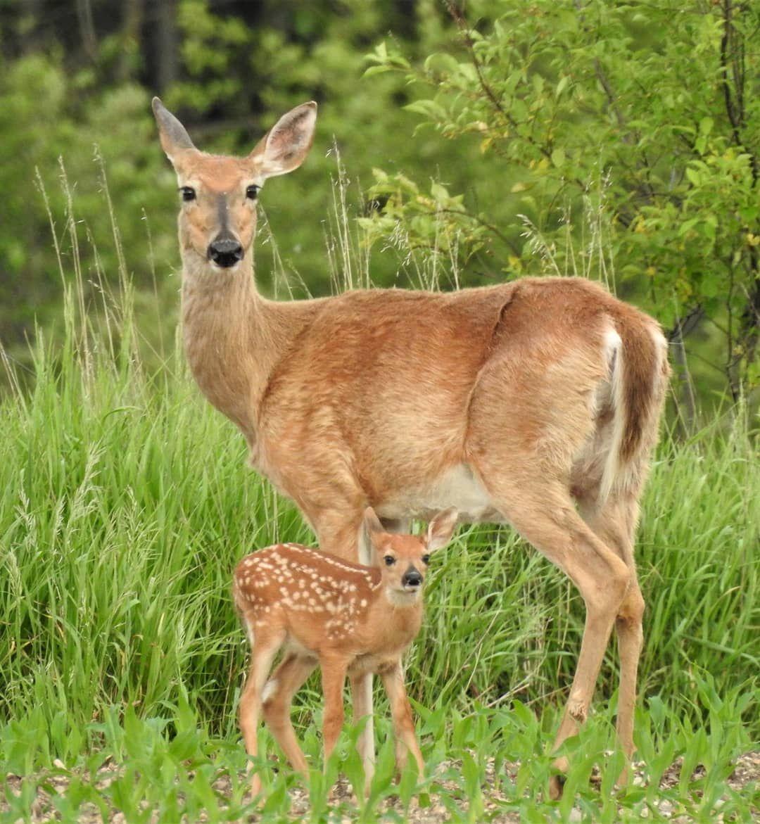 Momma And Her Baby Deer Deerlover Deerofinstagram Deerphotography Fawns Bambi Whitetaileddeer Whitetailaddicti Deer Photography Animals Whitetail Deer