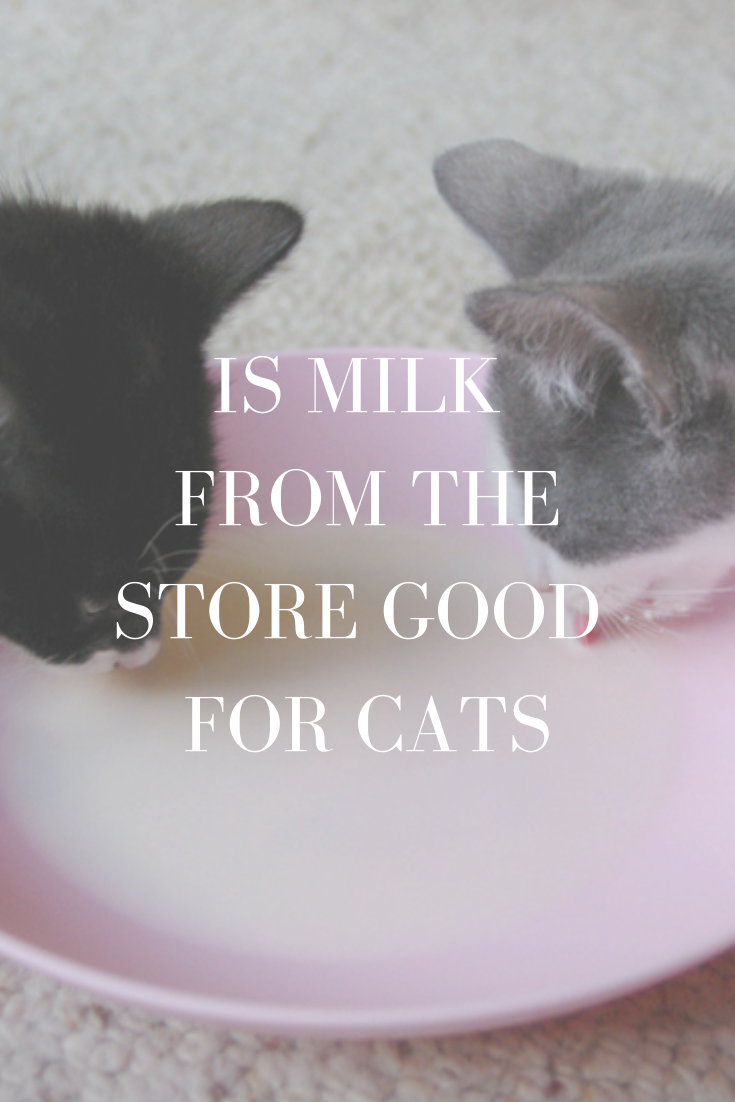 Can cats drink milk from the store? Is milk from the store