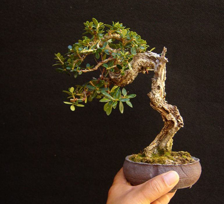 hand held bonsai bonsai bark hydroponique la maison jardin bonsas arbres bonsas