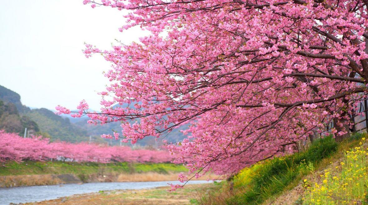 Cherry Blossoms Are Blooming In Japan Cherry Blossom Season Sakura Tree Cherry Blossom