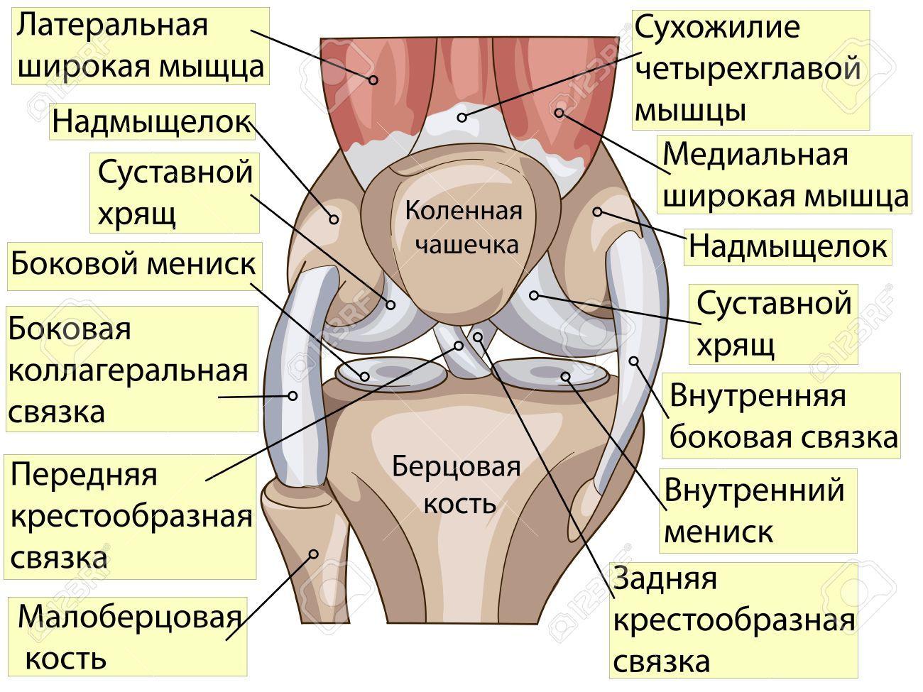 Parts Of Knee Diagram Human Anatomy Drawing Anatomy Human