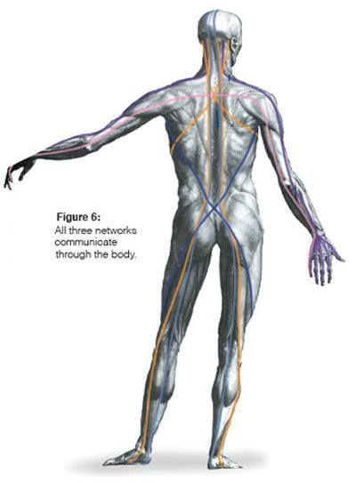 Tom Myers Anatomy Trains Myofascial Meridians Osteopatia Pinterest