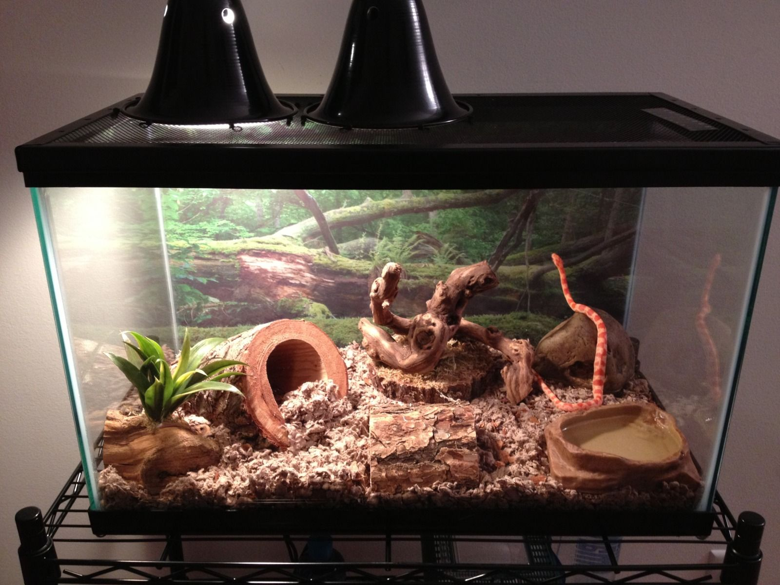 How To Set Up Corn Snake Vivarium Our Snake Needs A Tank Re Model