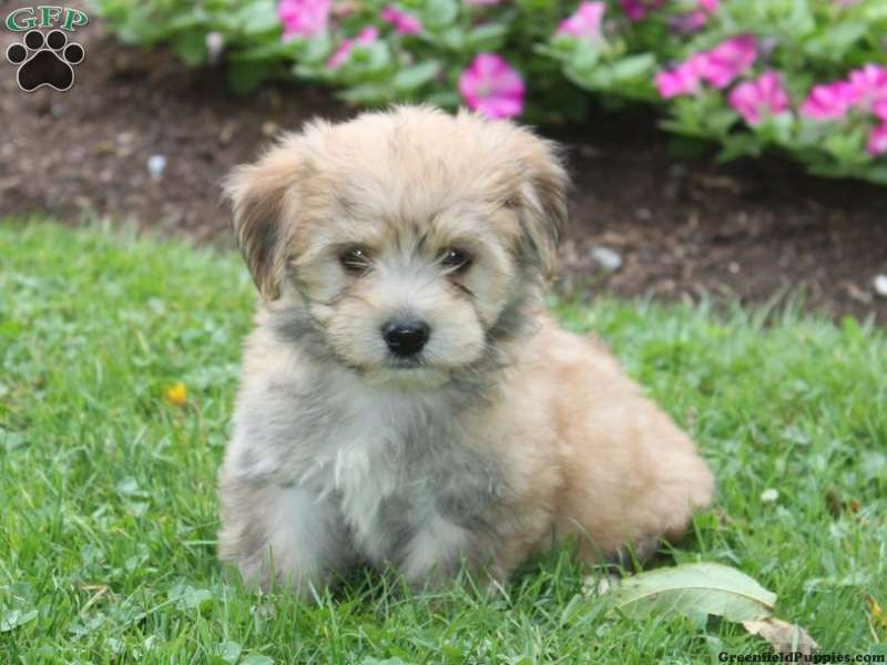 Sammy Havanese Puppy For Sale From Quarryville Pa Havanese Puppies For Sale Havanese Puppies Havanese Dogs