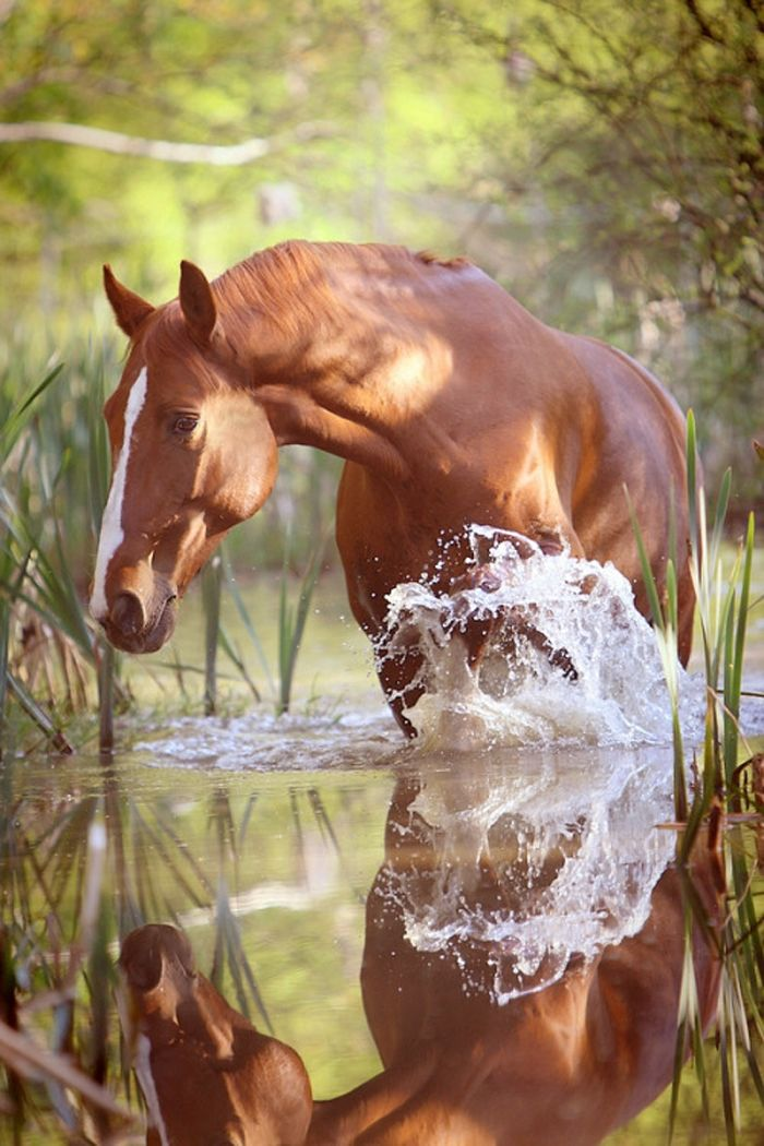 A Touch of Gold: a handsome warmblood gelding named Midas playing in the water. Beautiful photo. (by Christine)