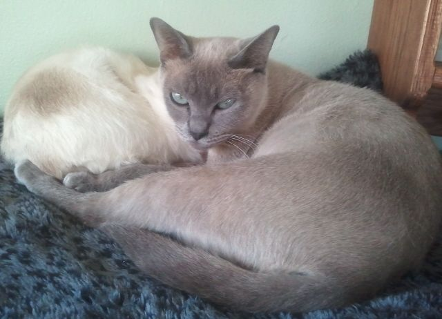 Nala Blue Mink Tonkinese Purebred Cats Tonkinese Cute Animals