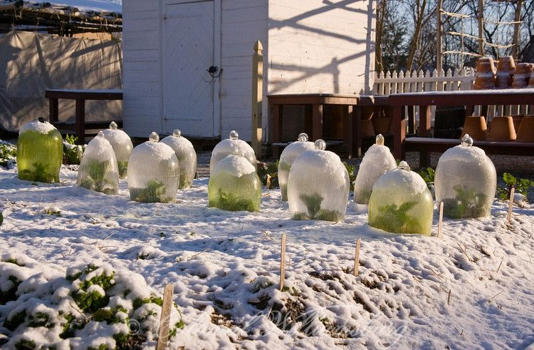 The Colonial Garden in winter. Glass globes protect plants