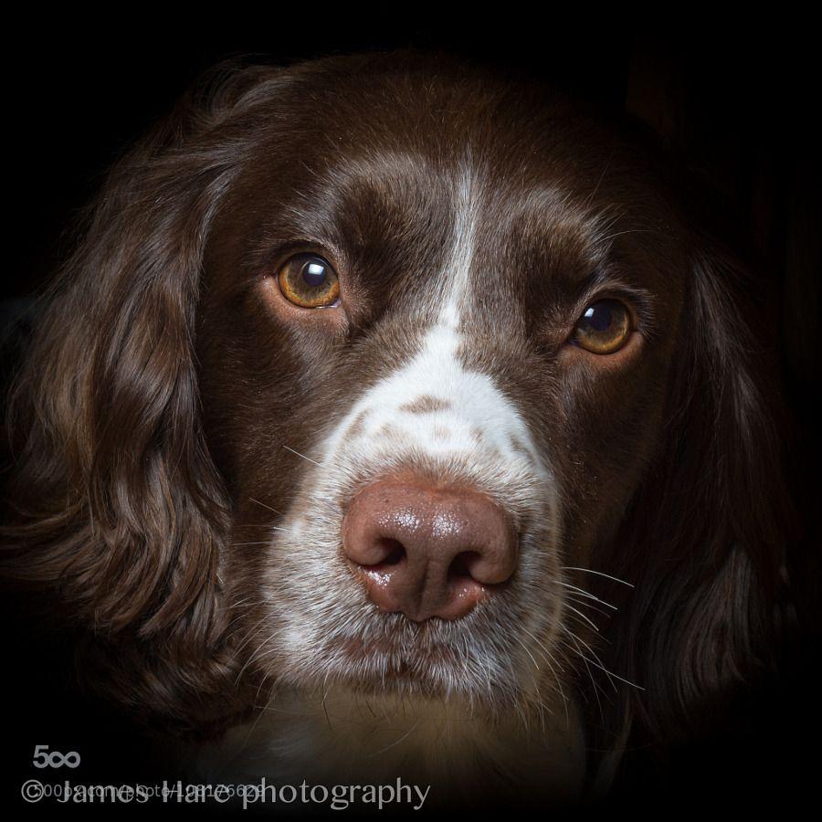 Photo To Art Guy Blog Springer Spaniel By James Hare Springer Spaniel Springer Dog Spaniel