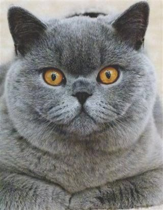 British Shorthair Breeders Australia British Shorthair Kittens British Shorthair Breeders British Shorthair Cats British Blue Cat