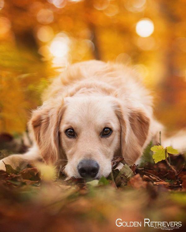 Golden Retrievers Puppies Goldenretrieversp Goldenretrievershirt