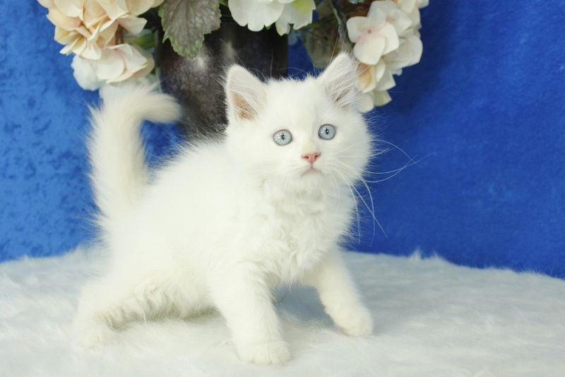 Solid White with Blue Eyes Ragdoll Kitten | Ragdoll Kittens