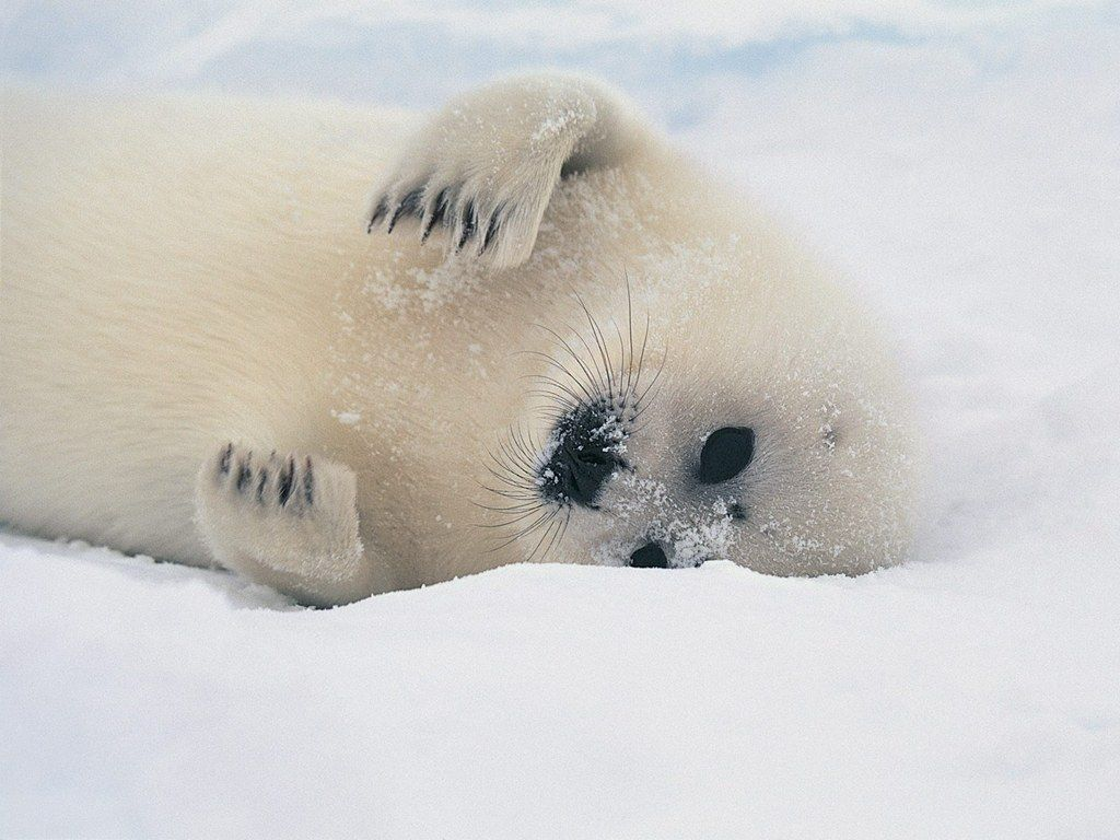 Download This Awesome Wallpaper Wallpaper Cave Seal Pup Harp Seal Pup Harp Seal