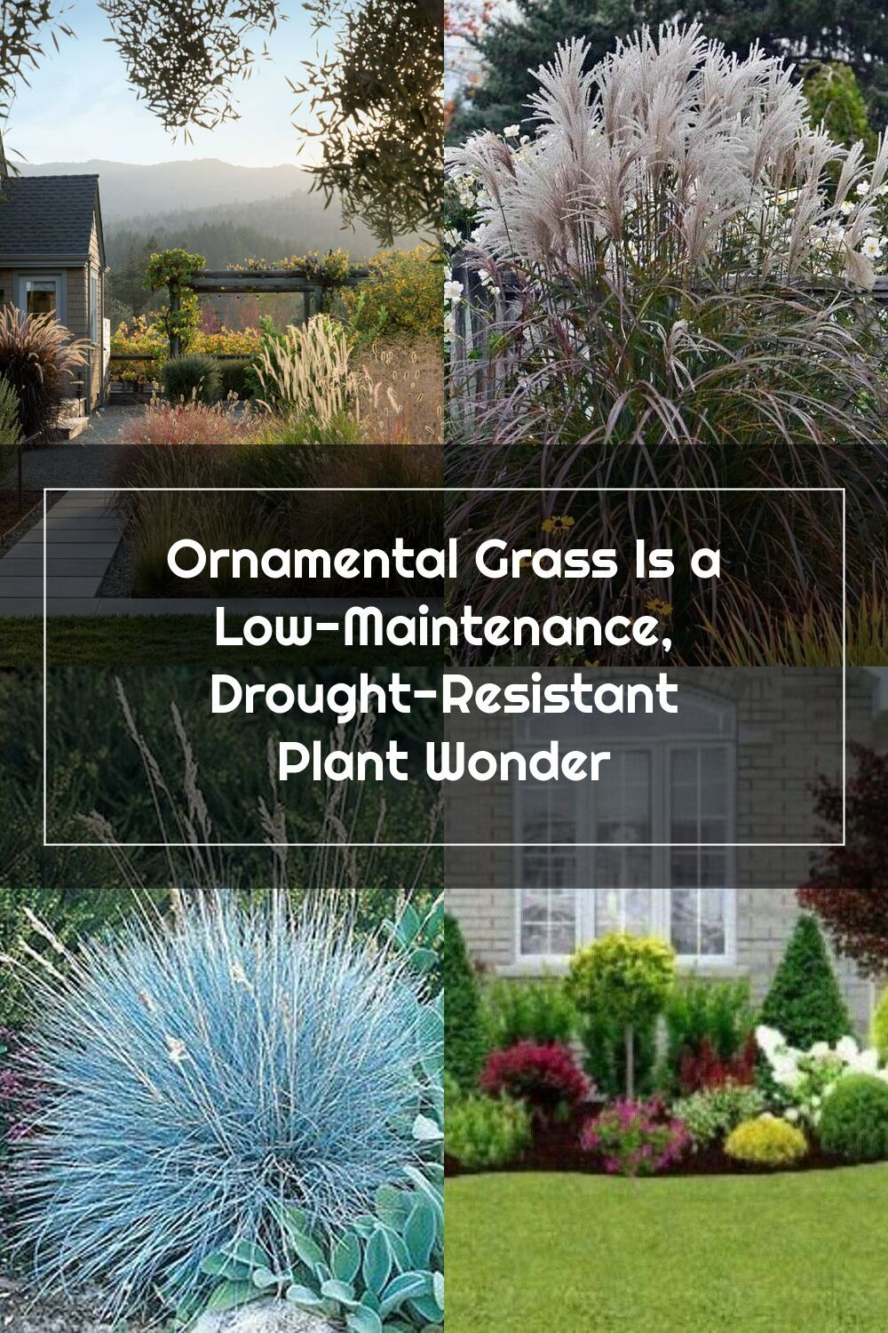 Ornamental Grass Is a LowMaintenance, DroughtResistant