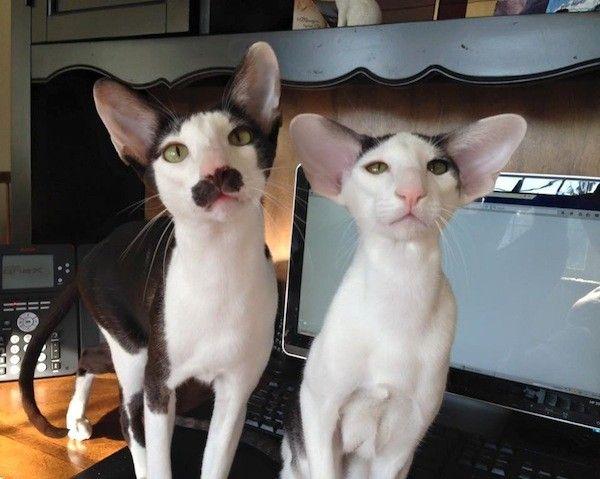 Meet Dobby Cat, the World's Cutest House Elf Dobby cat