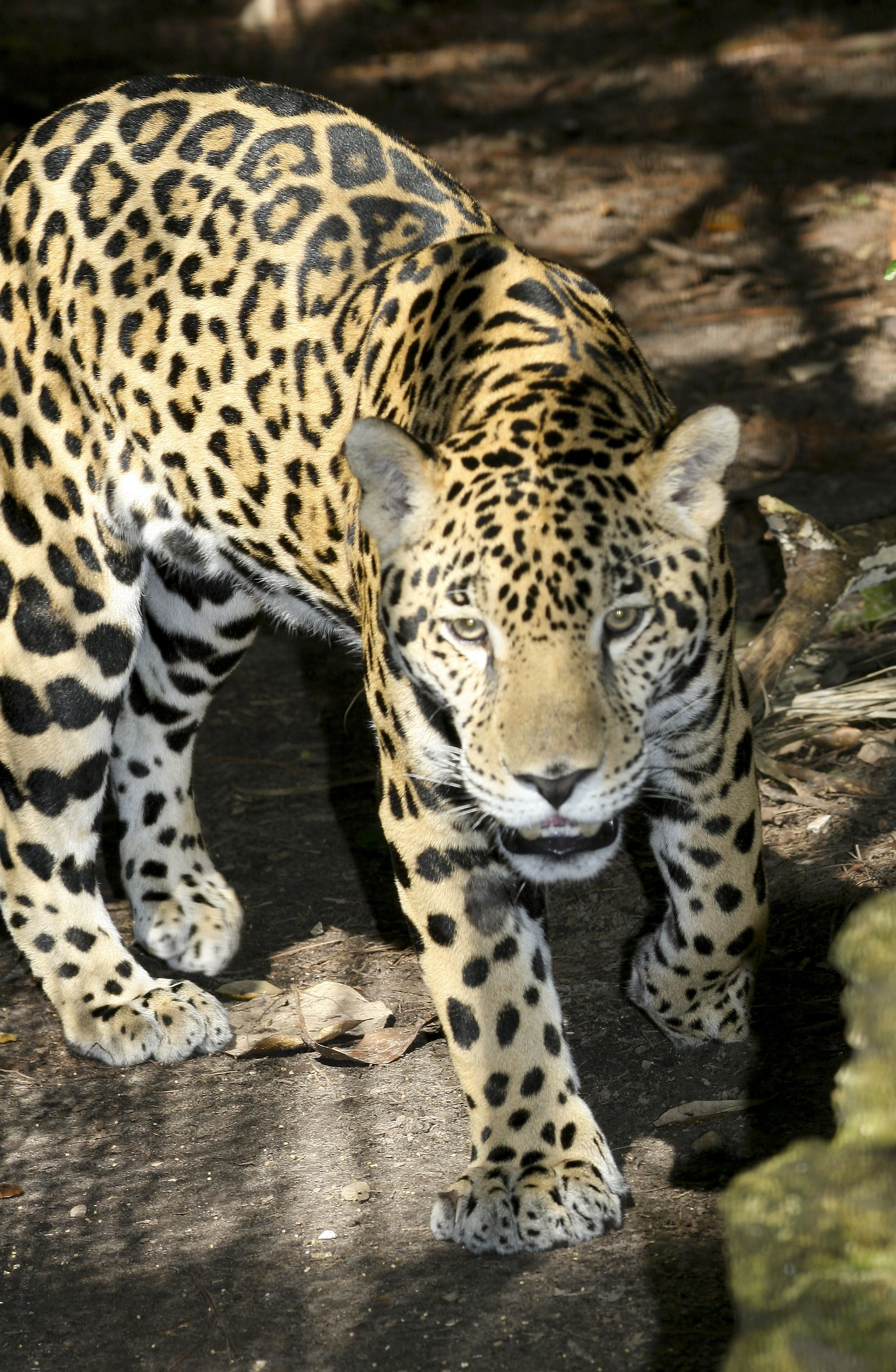 The Jaguar, largest cat in North America.  Taken in Belize (there was only thin chicken wire in front of me!)