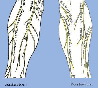 forearm radial sensory nerve - Google Search | Anatomy | Pinterest ...