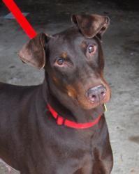 Adopt Sienna On Doberman Pinscher Dog Big Dogs Doberman Rescue