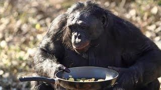 Kanzi The Bonobo Makes A Campfire