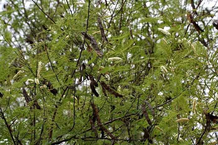 Acacia Catechu Aka Mimosa Catechu Tree Medicinal Plants Plant Fungus