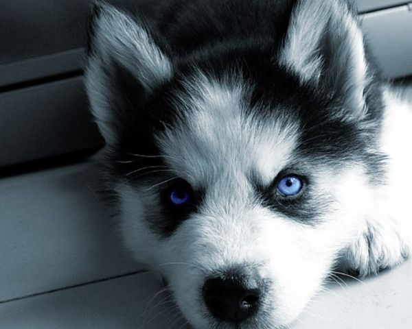 Perros Husky Siberiano Fondos De Pantalla Hd De Animales 2: Backgrounds For > Siberian Husky Puppy Wallpaper